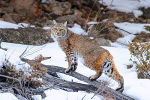 Bobcat (Lynx rufus) standing on branch in snow. Madison River Valley, Yellowstone National Park, Wyoming, USA. January.  -  Nick Garbutt