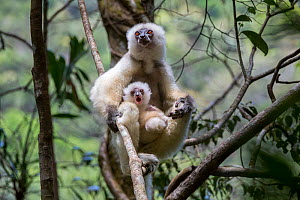 Silky sifaka (Propithecus candidus) female with baby sitting amongst branches in understorey of mid-altitude montane rainforest. Marojejy National Park, north east Madagascar.  -  Nick Garbutt