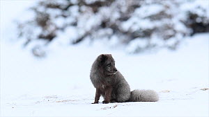 Arctic fox (Vulpes lagopus) sitting on snow, looking around and sniffing, blue colour morph, Hornstrandir Nature Reserve, Iceland, March.  -  Terry  Whittaker