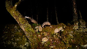 Badgers (Meles meles) foraging near a dry stone wall in a woodland, Cairngorms National Park, Scotland. Filmed using a camera trap. - Terry  Whittaker