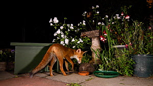 Red fox (Vulpes vulpes) feeding in an urban garden, with a Hedgehog (Erinaceus europaeus) rolled up defensively nearby, Greater Manchester, UK, August. Filmed using a camera trap.  -  Terry  Whittaker
