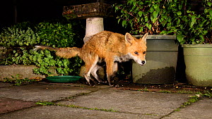Red fox (Vulpes vulpes) with mange sniffing and marking in an urban garden, Greater Manchester, UK, August. Filmed using a camera trap.  -  Terry  Whittaker