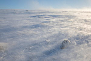 Mountain hare (Lepus timidus) in extreme winds with spin drifts of snow, Cairngorms National Park, Scotland, UK, February 2018. Winner of the Animals in their Environment Category of the British Wildl...  -  Andrew Parkinson