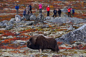 Muskox (Ovibos moschatus) in tundra, people photographing and observing in background. Dovrefjell National Park, Norway. September 2018. - Staffan Widstrand