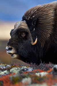 Muskox (Ovibos moschatus) male feeding, portrait. Dovrefjell National Park, Norway. September. - Staffan Widstrand