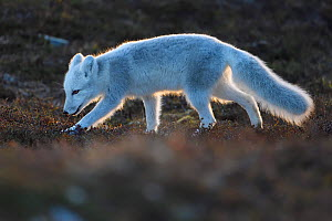 Arctic fox (Vulpes lagopus) juvenile sniffing ground, winter pelage. Dovrefjell National Park, Norway. September. - Staffan Widstrand
