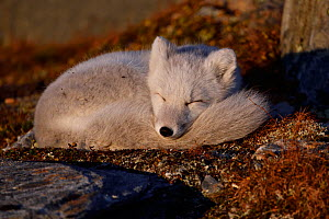 Arctic fox (Vulpes lagopus) juvenile curled up, sleeping in morning light, winter pelage. Dovrefjell National Park, Norway. September.  -  Staffan Widstrand