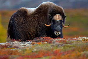 Muskox (Ovibos moschatus), male portrait. Dovrefjell National Park, Norway - Staffan Widstrand