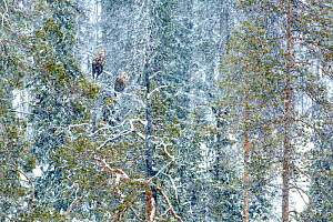 White-tailed eagle (Haliaeetus albicilla) male and female perched on tree in snow, near Kuusamo, Finland. March. Runner up in the Birds category of the GDT European Wildlife Photographer of the Year A... - Andres M. Dominguez
