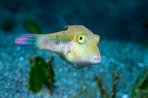 Bennet's sharpnose puffer (Canthigaster bennetti). North Sulawesi, Indonesia.  -  Georgette Douwma