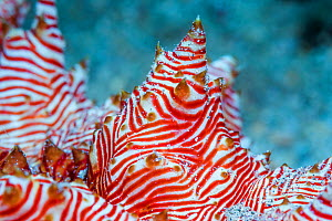 Candycane sea cucumber (Thelenota rubralineata) detail. North Sulawesi, Indonesia. - Georgette Douwma