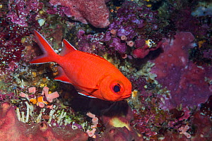 White-tipped soldierfish (Myripristis vittata). North Sulawesi, Indonesia.  -  Georgette Douwma