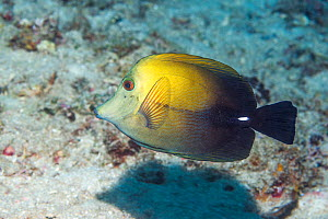 Brown tang (Zebrasoma scopas). North Sulawesi, Indonesia. - Georgette Douwma