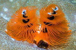 Christmas tree worm (Spirobranchus giganteus). North Sulawesi, Indonesia.  -  Georgette Douwma