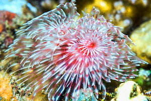 Feather duster worm (Protula magnifica). North Sulawesi, Indonesia.  -  Georgette Douwma