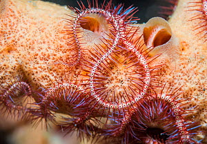 Dark red-spined brittle star (Ophiothrix purpurea) North Sulawesi, Indonesia.  -  Georgette Douwma