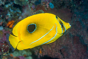 Bennet's butterflyfish or Bluelashed butterflyfish (Chaetodon bennetti). North Sulawesi, Indonesia.  -  Georgette Douwma
