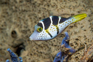 Mimic leatherjacket (Paraluteres prionurus). North Sulawesi, Indonesia. - Georgette Douwma