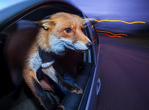 Domesticated Red fox (Vulpes vulpes) travels in a car with his head out of the window on his way to being taken for an evening walk by his owner in forests in East London, England. This fox was brough... - Neil Aldridge