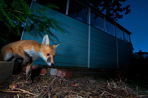Red fox (Vulpes vulpes) juvenile showing signs of mange in its coat and eyes, stepping out from its den behind a garden shed, Bristol, England, UK. June 2015. Winner of the Portfolio Category of Natur... - Neil Aldridge