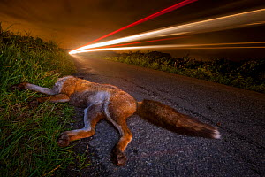 Red fox (Vulpes vulpes) lies dead on a country road after being hit by a car. Road deaths are one of the biggest killers of foxes and one of the greatest causes of cub abandonment. Winner of the Portf...  -  Neil Aldridge
