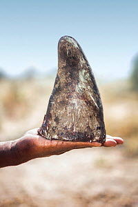 White rhinoceros (Ceratotherium simum) horn held in human hand. Rhino horn is trafficked illegally to the Far East to be used in Traditional Chinese Medicine and to feed demand from those who see it a... - Neil Aldridge