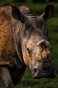 Scarred face of a white rhinoceros (Ceratotherum simum) that survived an attack by poachers who illegally tranquillised her, two other rhinoceroses died from their injures. However this female 'Th... - Neil Aldridge