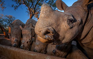 White rhinoceros (Ceratotherium simum) five calves, orphaned from poaching feeding from a trough at dusk at the Rhino Revolution orphanage near Hoedspruit, South Africa. May 2017. Highly Commended in...  -  Neil Aldridge
