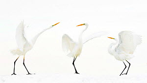 Great white egret (Ardea alba) group of three in winter, Kiskunsag National Park, Hungary. Winner of the Bird Category of Nature Photographer of the Year Awards 2018. - Bence Mate