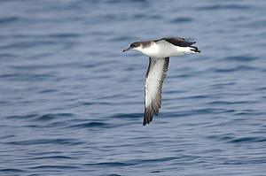 Manx shearwater (Puffinus puffinus) in flight at sea. Hebrides, Scotland. June. - Chris Gomersall