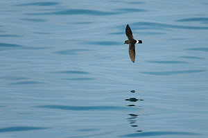 European storm-petrel (Hydrobates pelagicus) in flight over calm sea. Outer Hebrides, Scotland, UK, June.  -  Chris Gomersall
