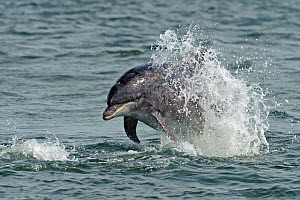 Bottlenose dolphin (Tursiops truncatus) breaching. Moray Firth, Scotland. - Chris Gomersall