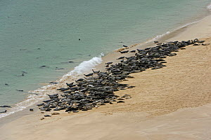 Atlantic grey seals (Halichoerus grypus) hauled out on beach at the island of Mingulay in the Western Isles, Scotland. June 2015. - Chris Gomersall