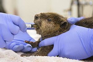 North American beaver (Castor canadensis) orphaned kit feeding from syringe. Lindsay Wildlife Experience, Walnut Creek, Contra Costa County, California, USA. September 2015. Captive. - Suzi Eszterhas