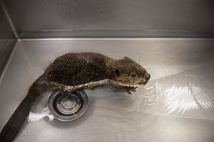 North American beaver (Castor canadensis), orphaned kit swimming in sink. Lindsay Wildlife Experience, Walnut Creek, Contra Costa County, California, USA. September 2015. Captive. Digitally enhanced.  -  Suzi Eszterhas