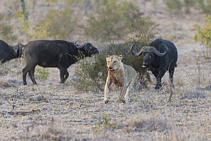 African lion (Panthera leo) running from African buffalo (Syncerus caffer). Sabi Sands Game Reserve, South Africa.  -  Suzi Eszterhas
