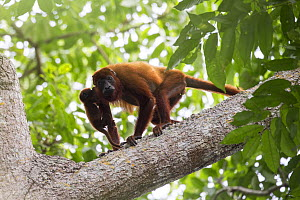Colombian red howler monkey (Alouatta seniculus) mother and baby in tree. Northern Colombia.  -  Suzi Eszterhas