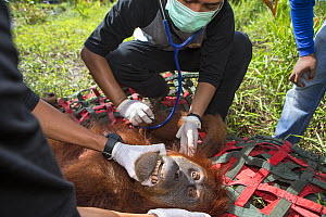 Vet examining Sumatran orangutan (Pongo abelii) female rescued by Human Orangutan Conflict Response Unit. Rescued from area of clearcut forest and later released into a national park. Aceh Province, S... - Suzi Eszterhas