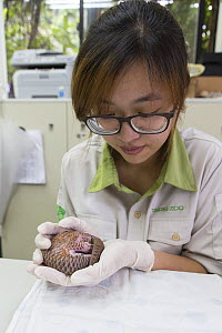Research assistant holding twelve day old orphaned baby Chinese pangolin (Manis pentadactyla). Taipei Zoo, Taipei, Taiwan. 2014. Captive. Model released. - Suzi Eszterhas