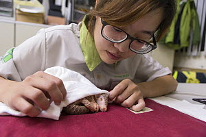 Research assistant caring for twelve day old orphaned baby Chinese pangolin (Manis pentadactyla). Taipei Zoo, Taipei, Taiwan. 2014. Captive. Model released. - Suzi Eszterhas