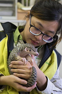 Chinese pangolin (Manis pentadactyla), orphaned baby in arms of research assistant. Taipei Zoo, Taipei, Taiwan. 2015. Captive. Model released.  -  Suzi Eszterhas
