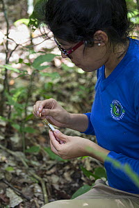 Cotton-top tamarin (Saguinus oedipus) researcher of Proyecto Titi collecting fecal samples. Northern Colombia. 2016.  -  Suzi Eszterhas