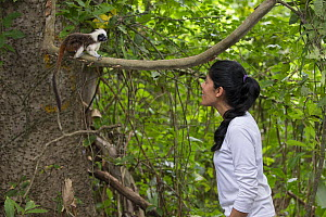 Researcher from Proyecto Titi observing Cotton-top tamarin (Saguinus oedipus) perched in tree. Northern Colombia. 2016.  -  Suzi Eszterhas