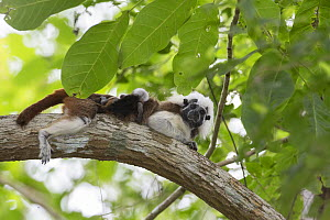 Cotton-top tamarin (Saguinus oedipus), adult lounging in tree with two week old twin babies on back. Northern Colombia.  -  Suzi Eszterhas