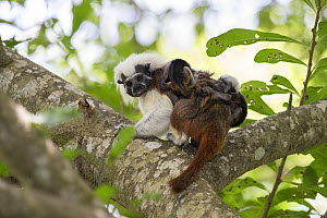 Cotton-top tamarin (Saguinus oedipus), adult carrying two week old twin babies on back. Northern Colombia.  -  Suzi Eszterhas