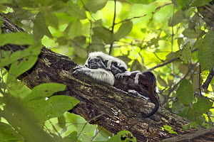 Cotton-top tamarin (Saguinus oedipus), adult male with baby sleeping on back. Northern Colombia. Digitally enhanced.  -  Suzi Eszterhas