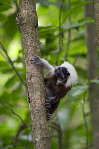 Cotton-top tamarin (Saguinus oedipus) peering around tree trunk. Northern Colombia.  -  Suzi Eszterhas