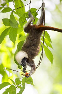 Cotton-top tamarin (Saguinus oedipus) feeding on fruit in tree. Northern Colombia.  -  Suzi Eszterhas