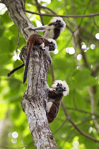 Cotton-top tamarin (Saguinus oedipus), three climbing tree. Northern Colombia.  -  Suzi Eszterhas