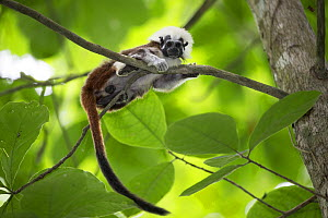 Cotton-top tamarin (Saguinus oedipus) resting on branch. Northern Colombia.  -  Suzi Eszterhas